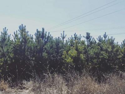 低价出售大量樟子松树
